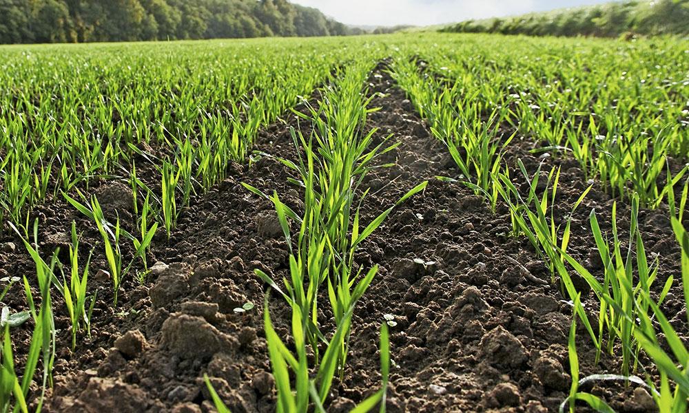 В каком состоянии озимые зерновые в Кизилюртовском районе на начало весны?