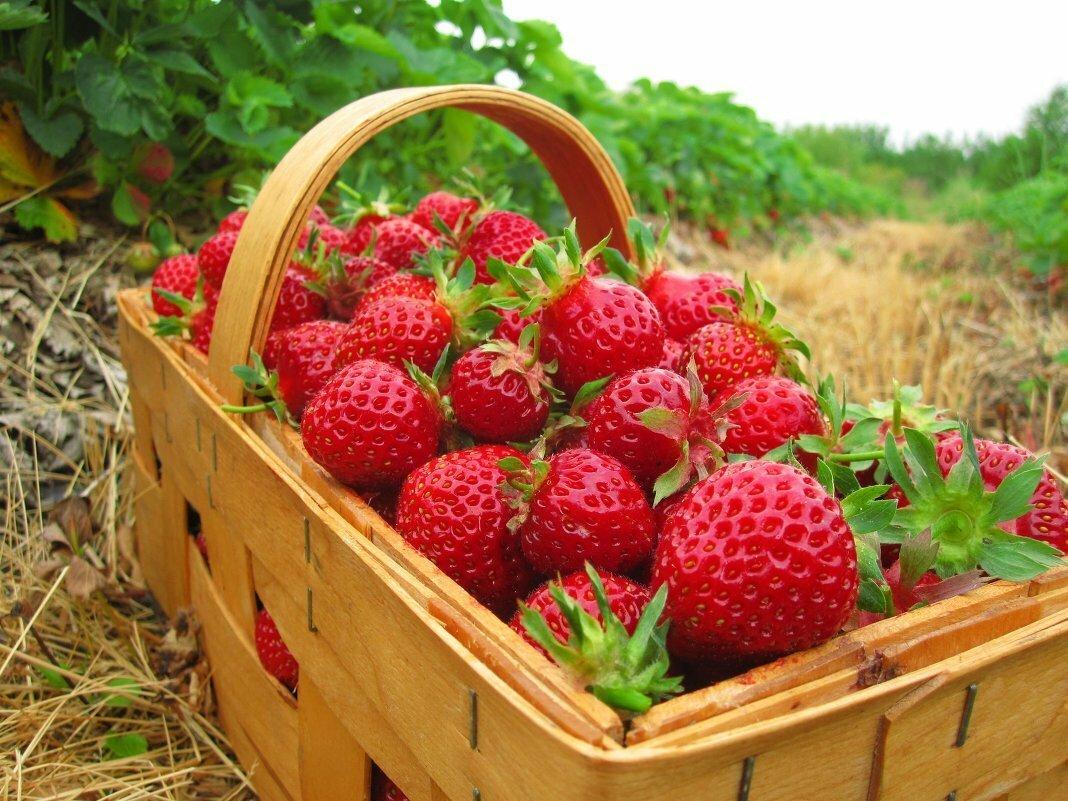 Дагестанские аграрии планируют собрать рекордный урожай клубники в этом году