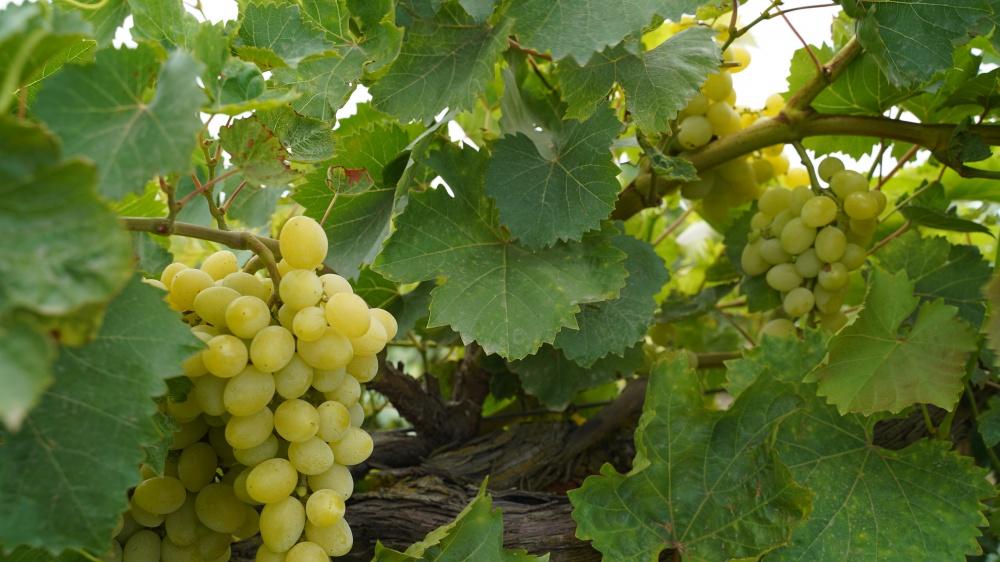 В Дагестане приступили к сбору столовых сортов винограда